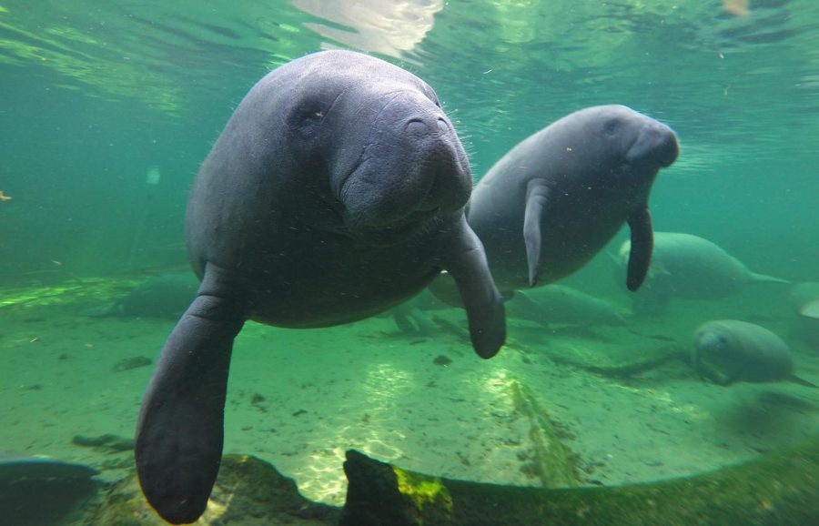 Manatees find refuge in the warm waters of Blue Spring located at Blue Spring State Park, Orange City, Fla. (Red Huber/Orlando Sentinel/TNS)