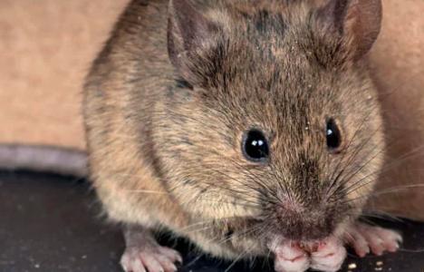 Rats, a Thanos-Level Threat?